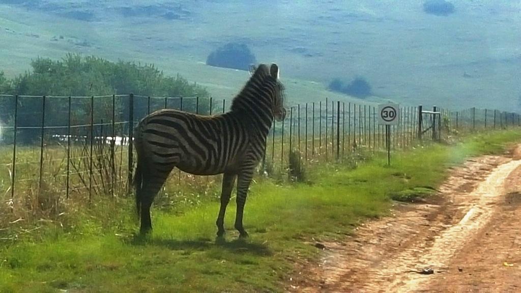 Zebra Crossing!