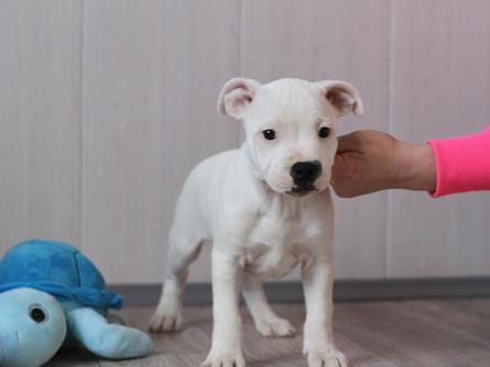 Предлагаем замечательных щенков  Стаффордширского бультерьера!