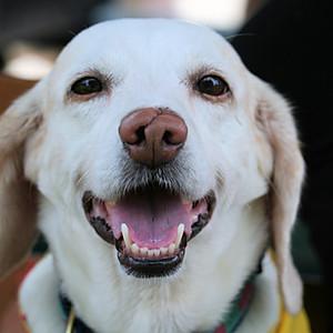 Beagle Meet