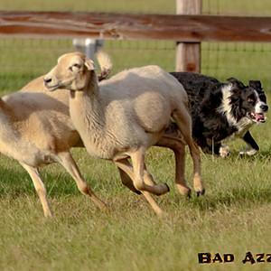 Herding at Black Prong