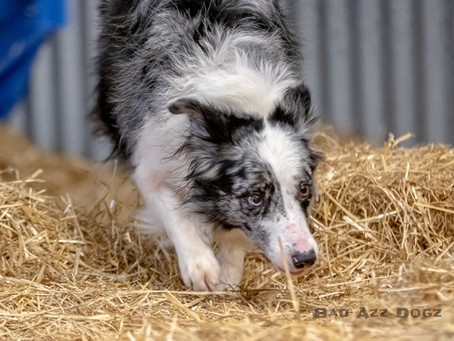 Tailwaggers Barn Hunt at Pirate Cluster