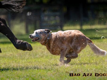 Mid-Florida AKC Herding Trials