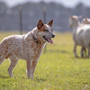 Herding Trials - Linden Hallow