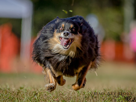 Photo-Feature: Fast CAT at Suwannee Valley Dog Show