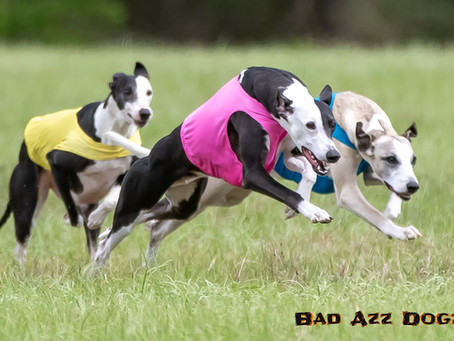 Lure Coursing at Florida Horse Park