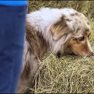 Barn Hunt Deland Dog Sports