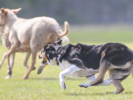 Herding Trials at Linden Hollow