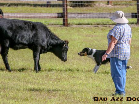 Black Prong Herding Trials - Photo Feature