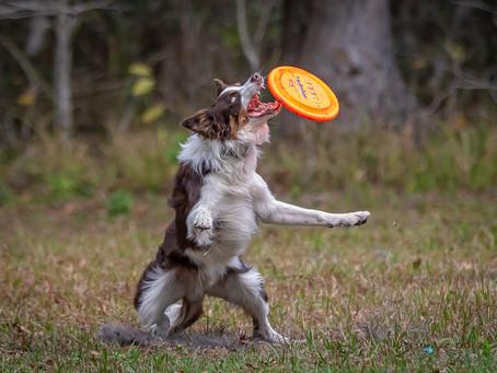 Frizbee Dog Ranch - UpDog Redux
