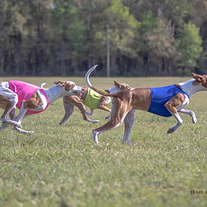 March Lure Coursing in Florida