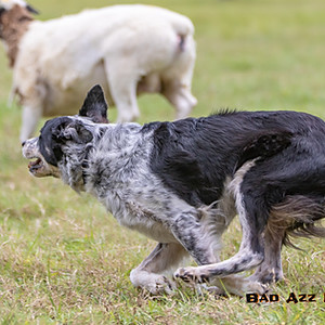 Herding Trial - Asher Dell Afternoon