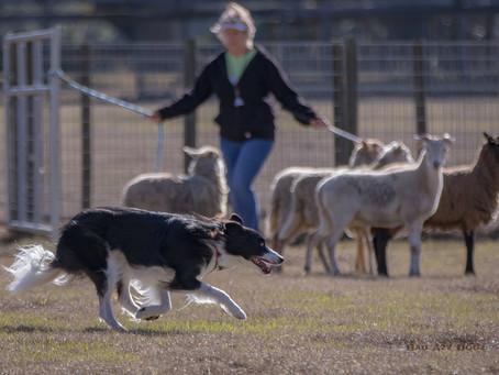 Herding Trials this Fall