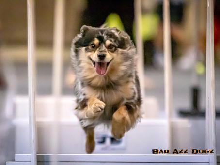 Flyball Dogs of U-FLI
