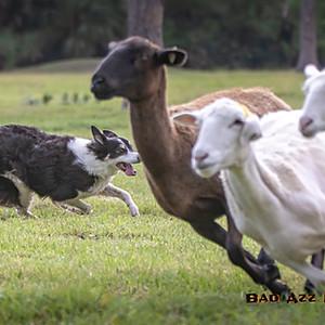 Herding Trial - Asher Dell Morning