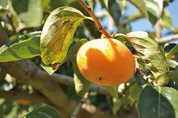 柿もぎ_0550.jpg