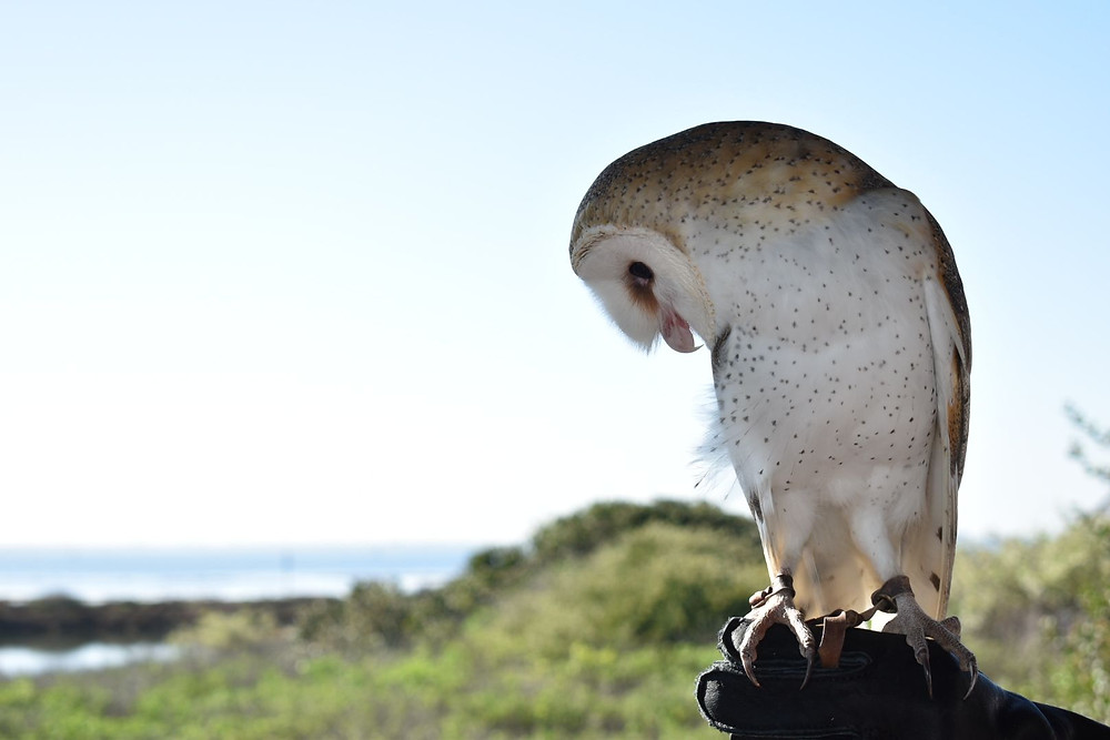 Barn Owl at Living Coast Discovery Center