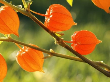 Ashwagandha Root Extract: Complete Nootropic Guide
