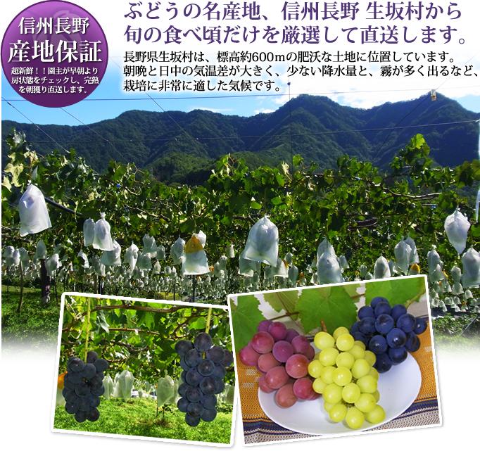 ぶどうの名産地、信州長野 生坂村から、旬の食べ頃だけを厳選して直送します。