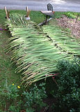 harvesting-cattails-drying-racks.jpg