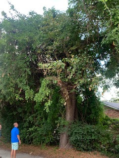 100 year old Mulberry Trea