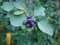 Amelanchier alnifolia sm.jpg