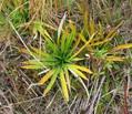 Star Grass 2.jpg