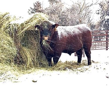 Magnum Herd Bull.png