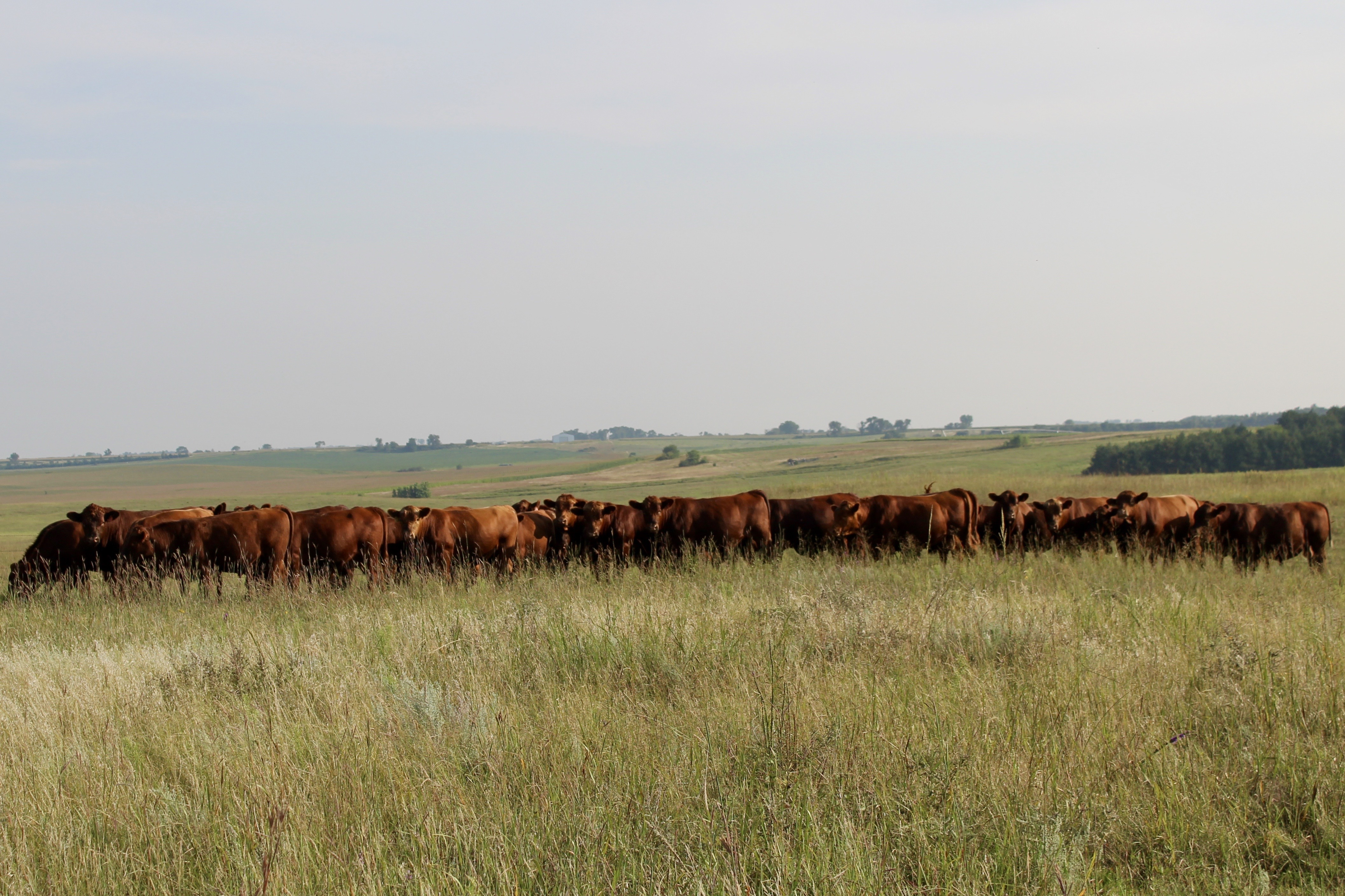 Orton Cattle