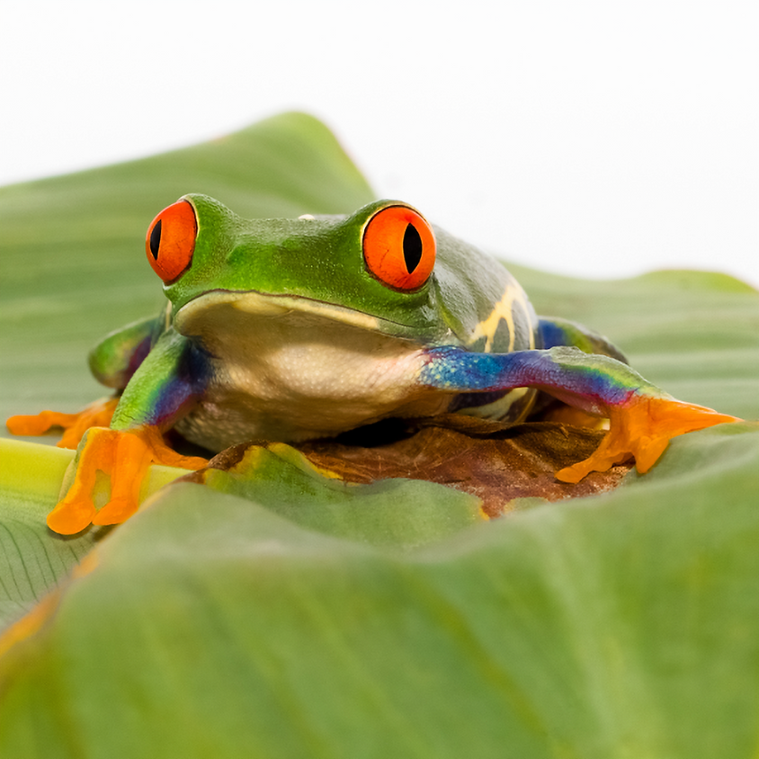 JR HERPERS CLUB | September Meeting: Fantastic Frogs and Where to Find Them