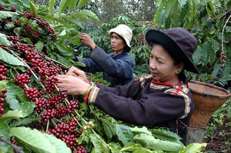 Vietnamese Coffee Picker in Dak Nong, Vietnam. Coffee Culture in Vietnam. BLOG pascallaube.com