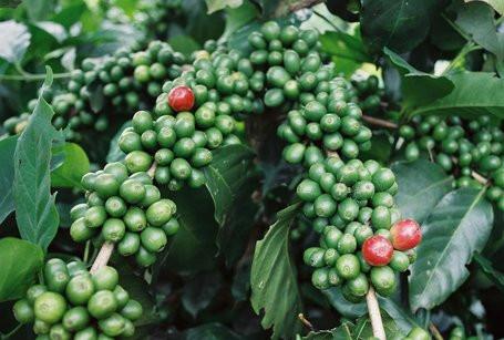Arabica Kaffee Vietnam. Premium Kaffee aus den Hochgebirge des nördlichen Vietnams. Kaffeekultur in Vietnam. Blog pascallaube.com