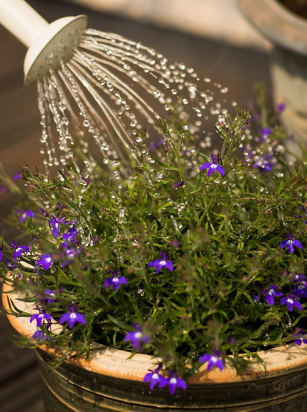 picture of some flowers being watered.