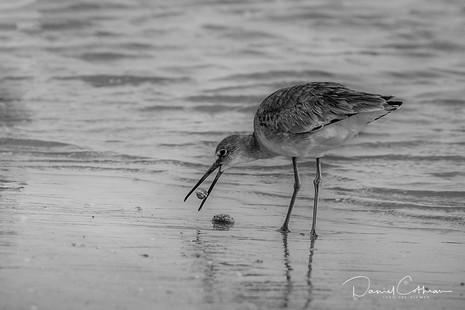 Shorebird Shelling
