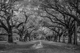 Ave of Oaks.jpg