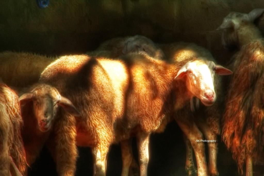 Sheeps3