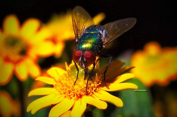 Greeenfly1.jpg