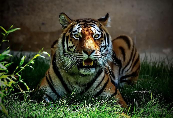Tigerlilly1.jpg