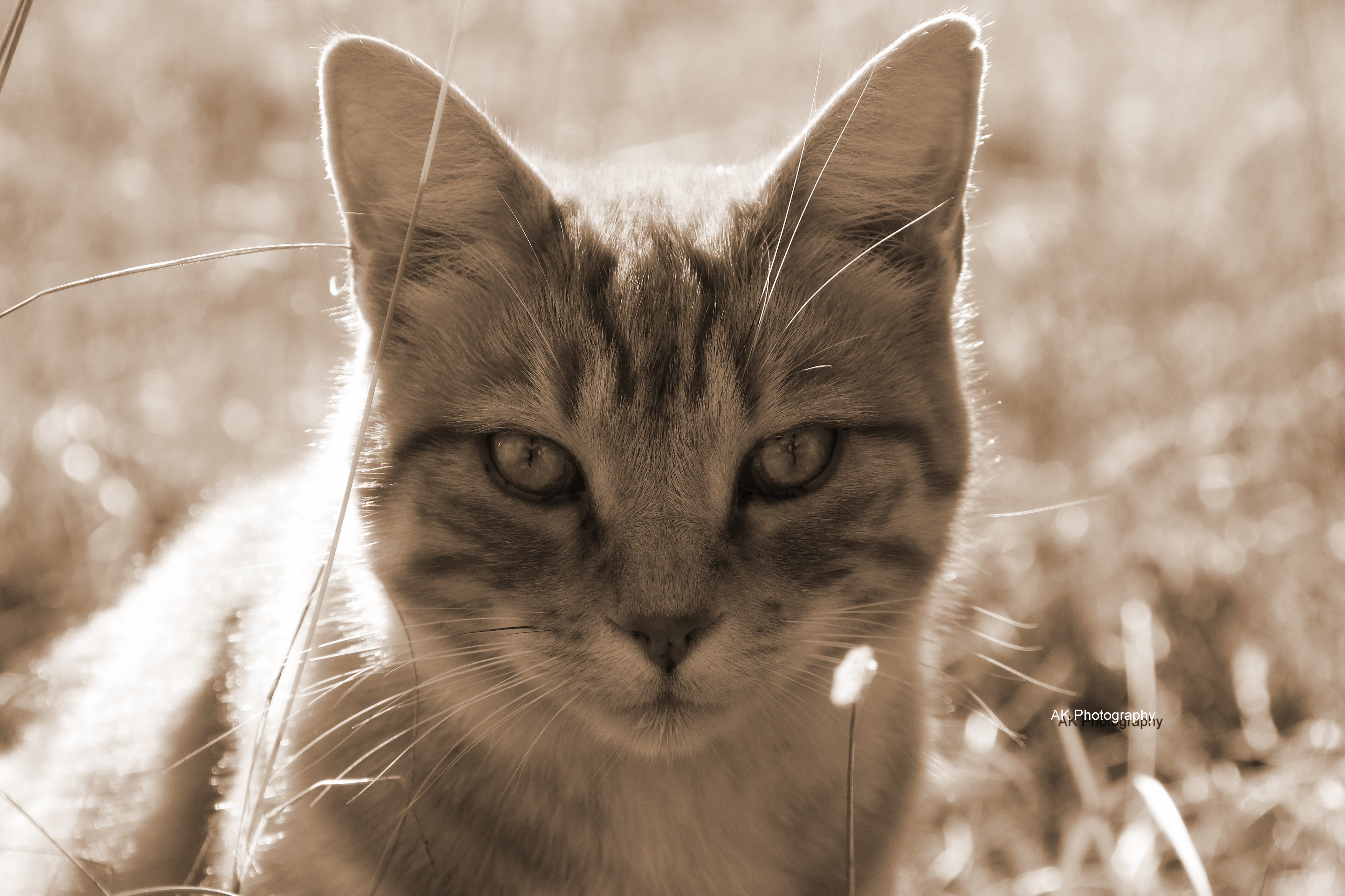 Katzegenf3sep