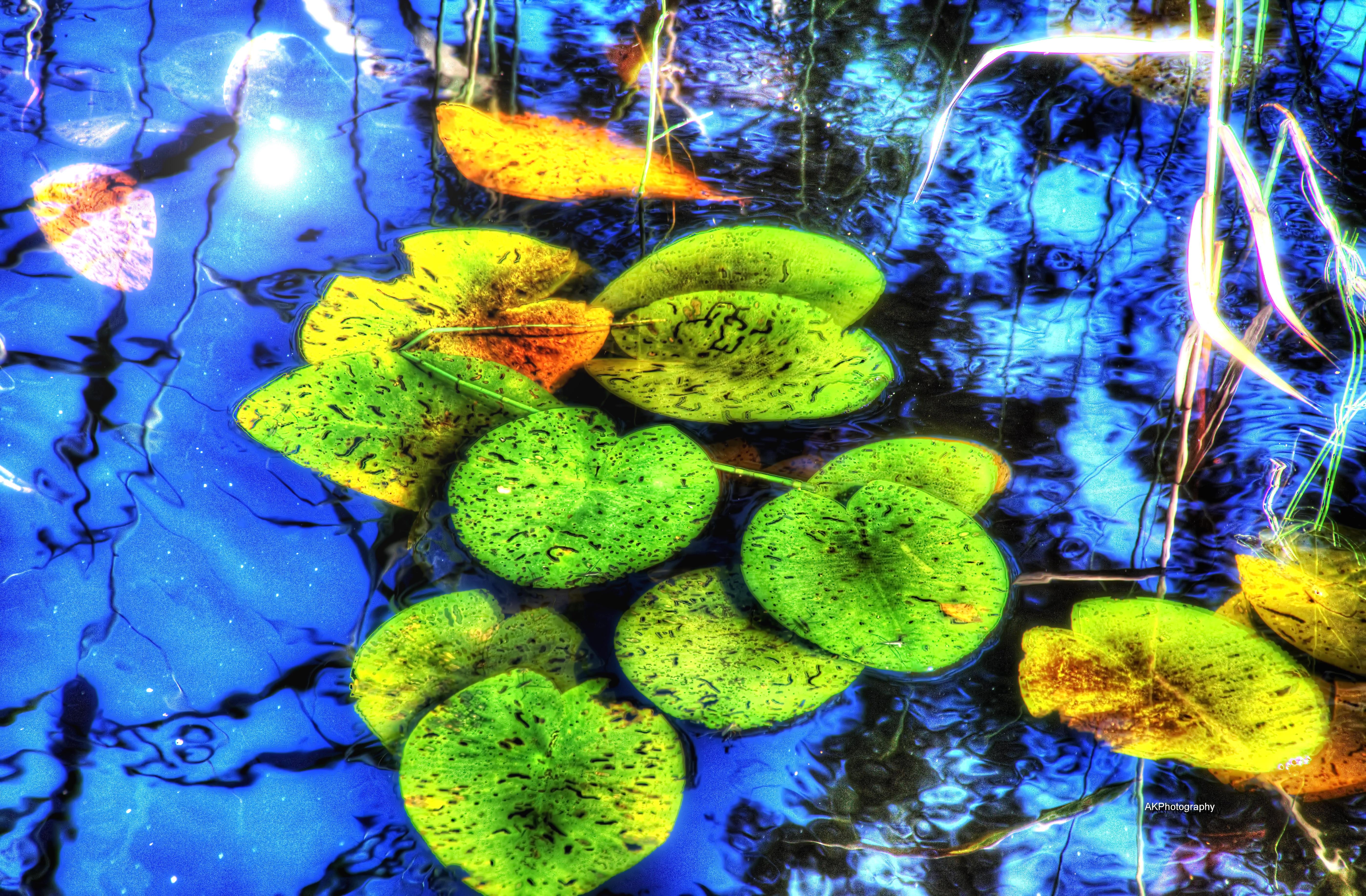 Waterrose1