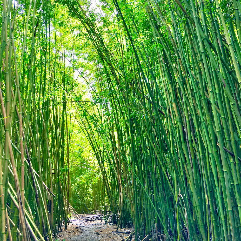Bamboo, photo by: Christina Laney Mitre