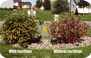 Before and After Shrub Fertilization