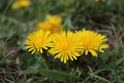 Dandelions are broadleaf weeds