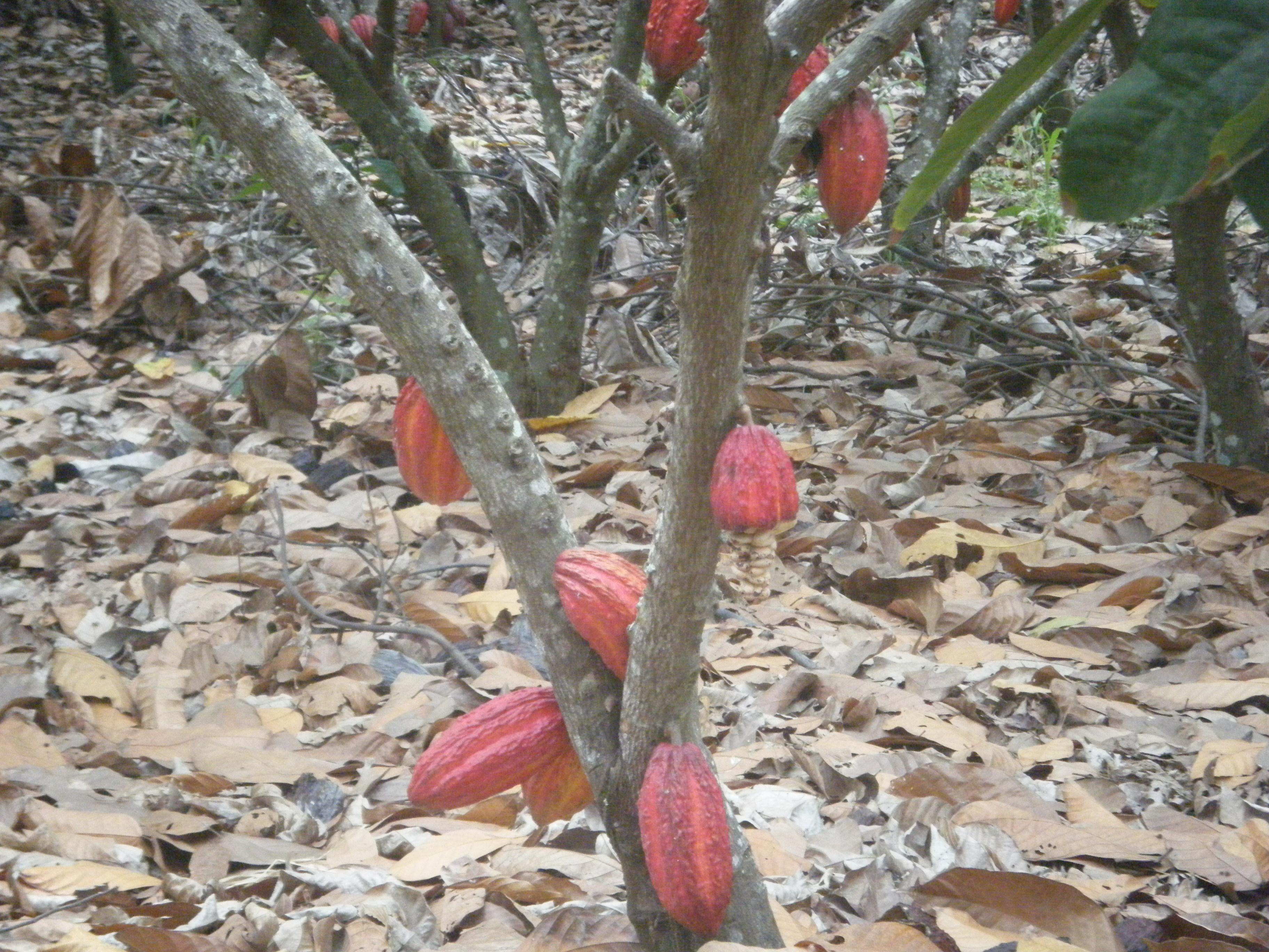 Growing Chocolate Ecuador