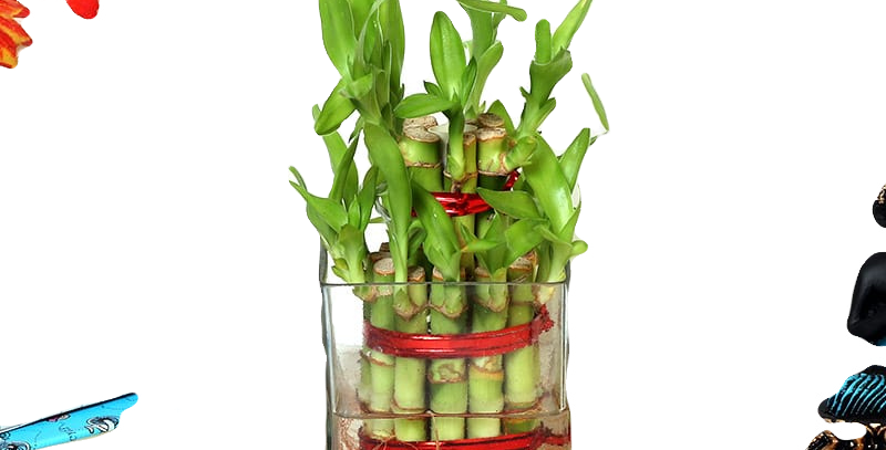 Lucky Bamboo 2-Layer