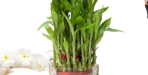 Lucky Bamboo (3 Layer)