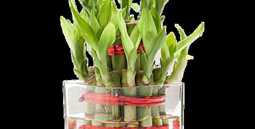 Lucky Bamboo (2 Layer)