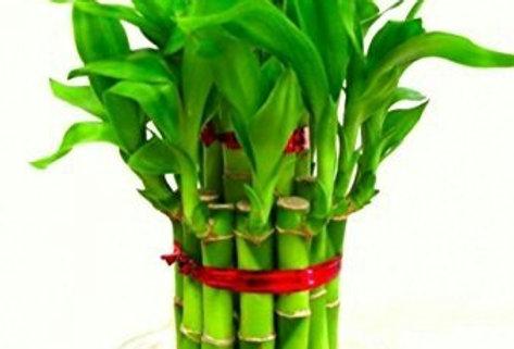 Bringing Good Luck 2 Layer Bamboo Plant