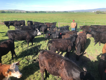 Man standing in field with cows, cattle for sale, cattle surrounding man, Angus, Herefor, Simmental Mix