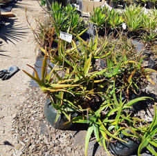 Item #063 REDUCED TO CLEAR 4 plants for $20