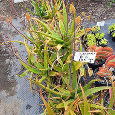 Item #064 REDUCED TO CLEAR 4 plants $25